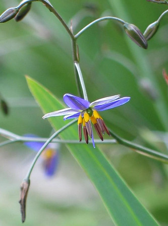 Dianella revoluta / Black-anther or Spreading Flax-lily