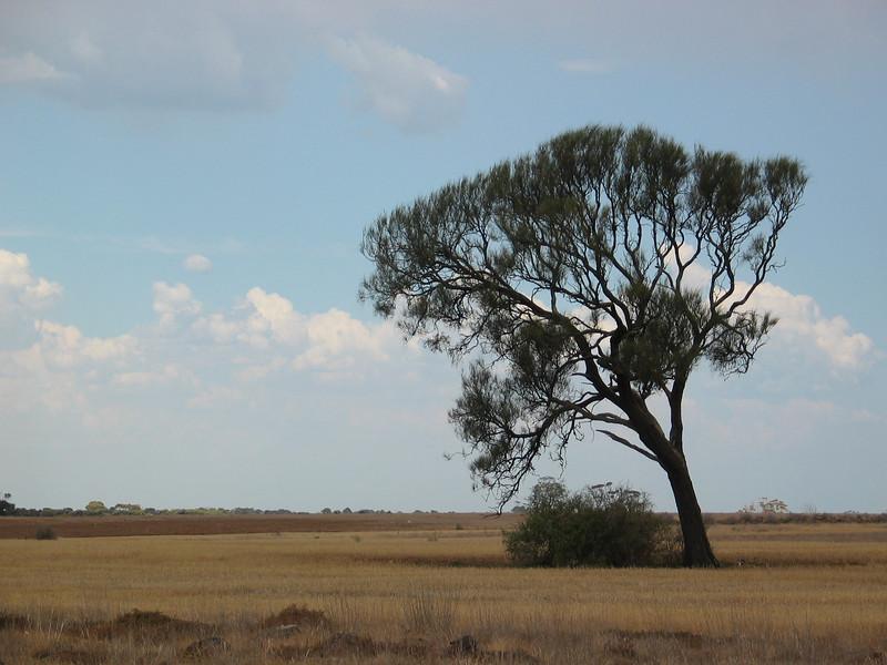 Allocasuarina luehmannii / Buloke  Medium tree (15m), flowering Oct to Nov