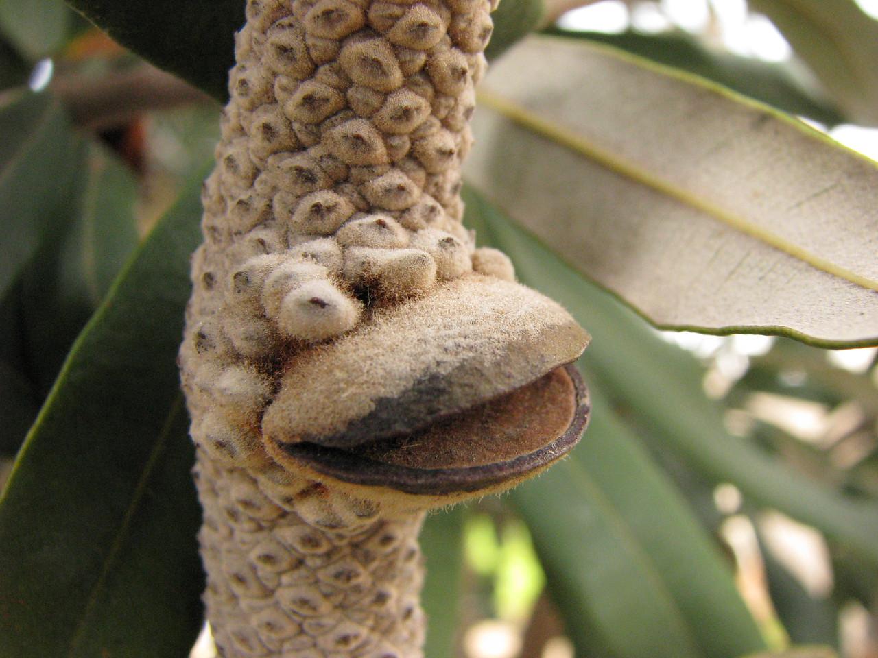 Banksia integrifolia / Coast Banksia  Woody cone developing