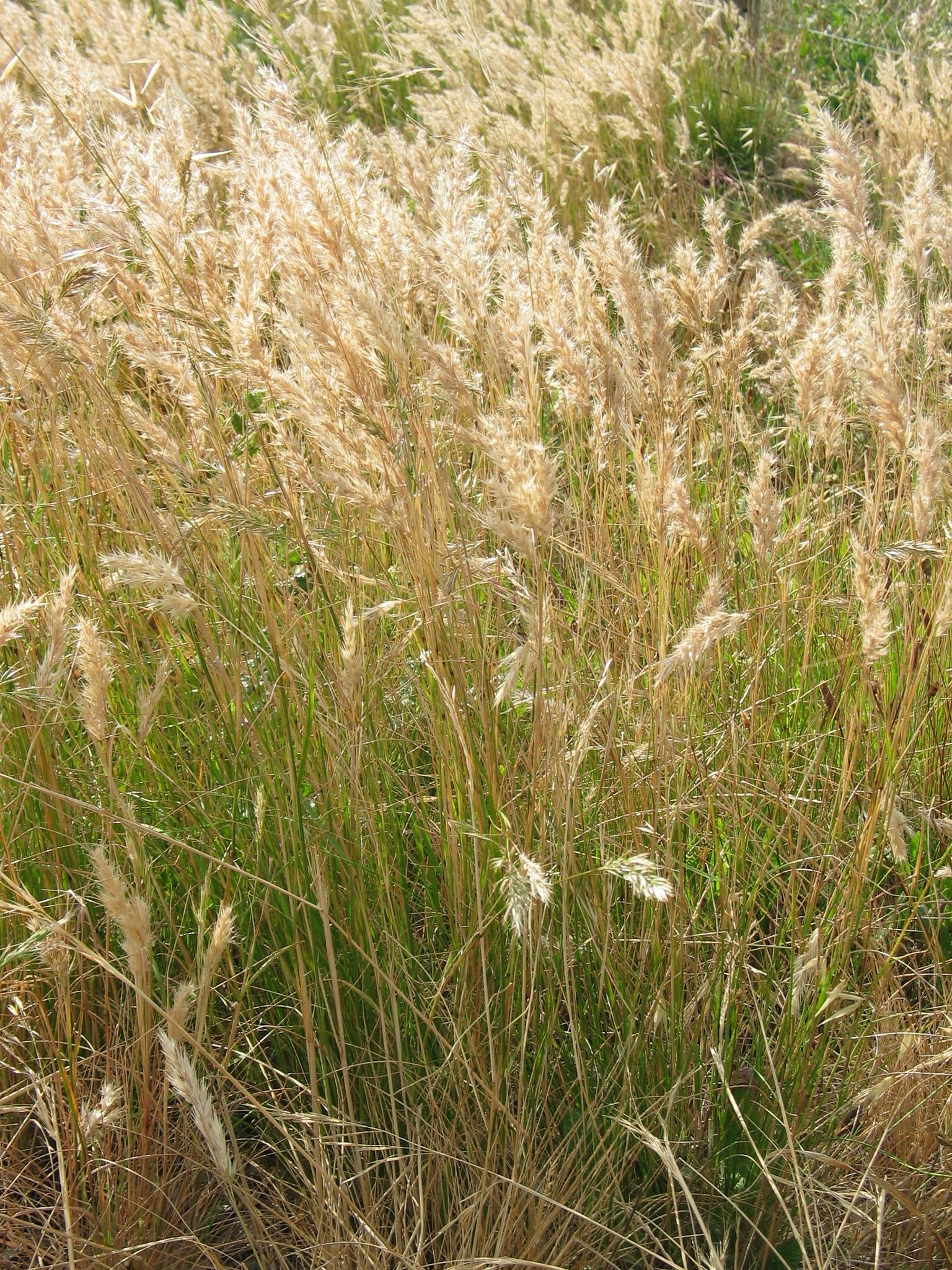 Austrodanthonia / Wallaby Grass