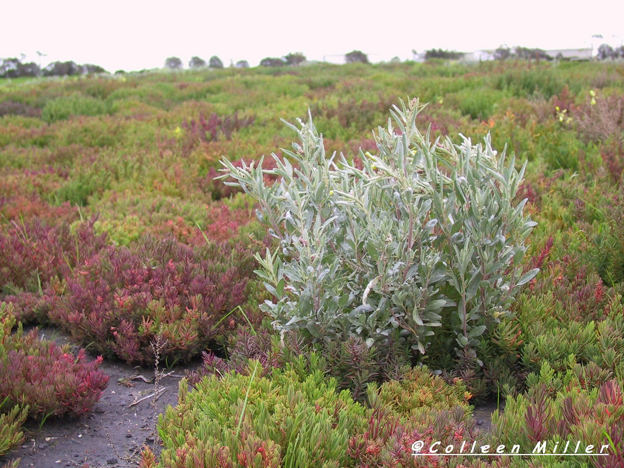 Atriplex cinerea / Coast Saltbush  Shrub (2m x 3m), flowering Sep to Mar.   Plants are dioecious, male flowers reddish purple in globular clusters, female flowers cream in axillary clusters