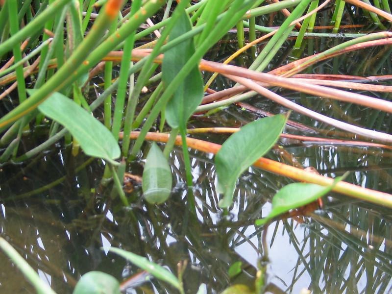 Alisma plantago-aquatica / Water Plantain  Erect perennial semi-aquatic herb (.5 x .5m), flowering  during summer