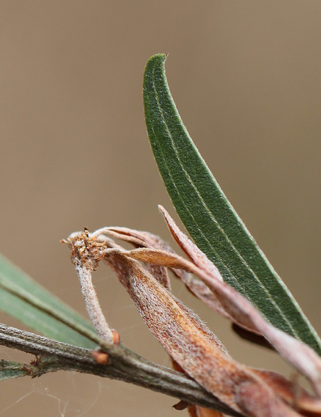 Acacia rostriformis (was included in A. verniciflua)