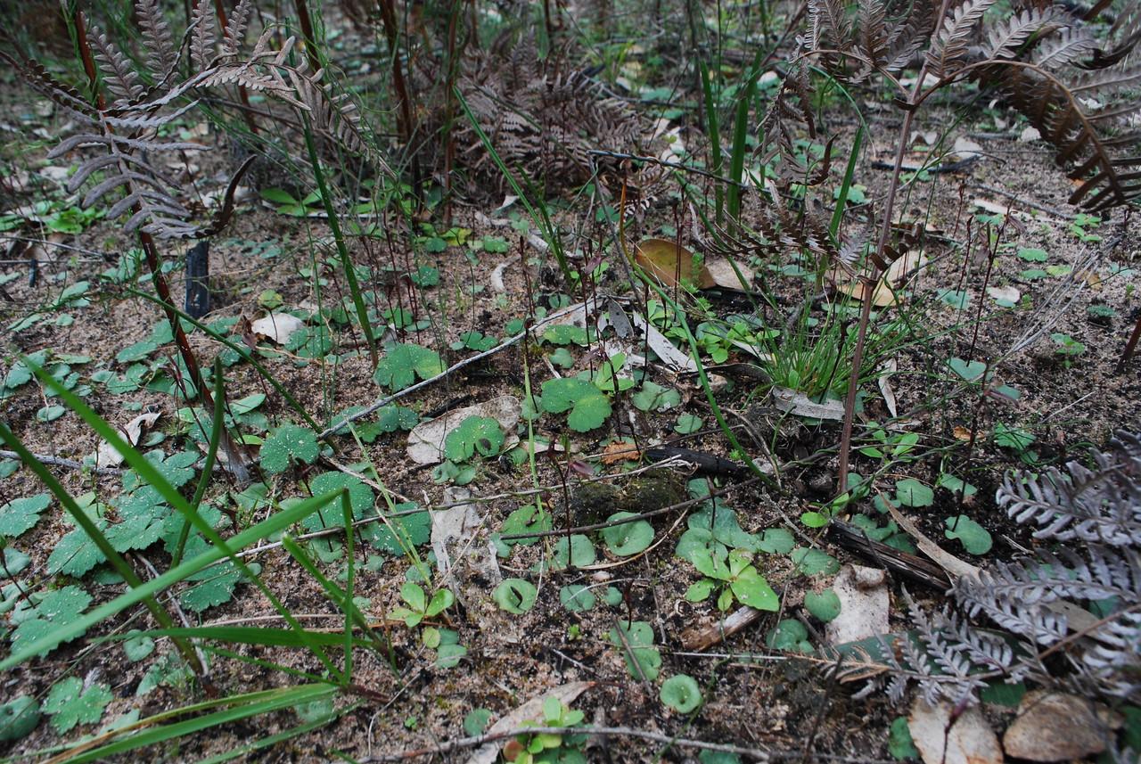 Cyrtostylis reniformis - Gnat Orchid - Inverleigh