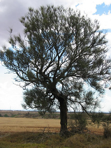 Allocasuarina luehmannii / Buloke  Medium tree (15m), flowering Oct to Nov