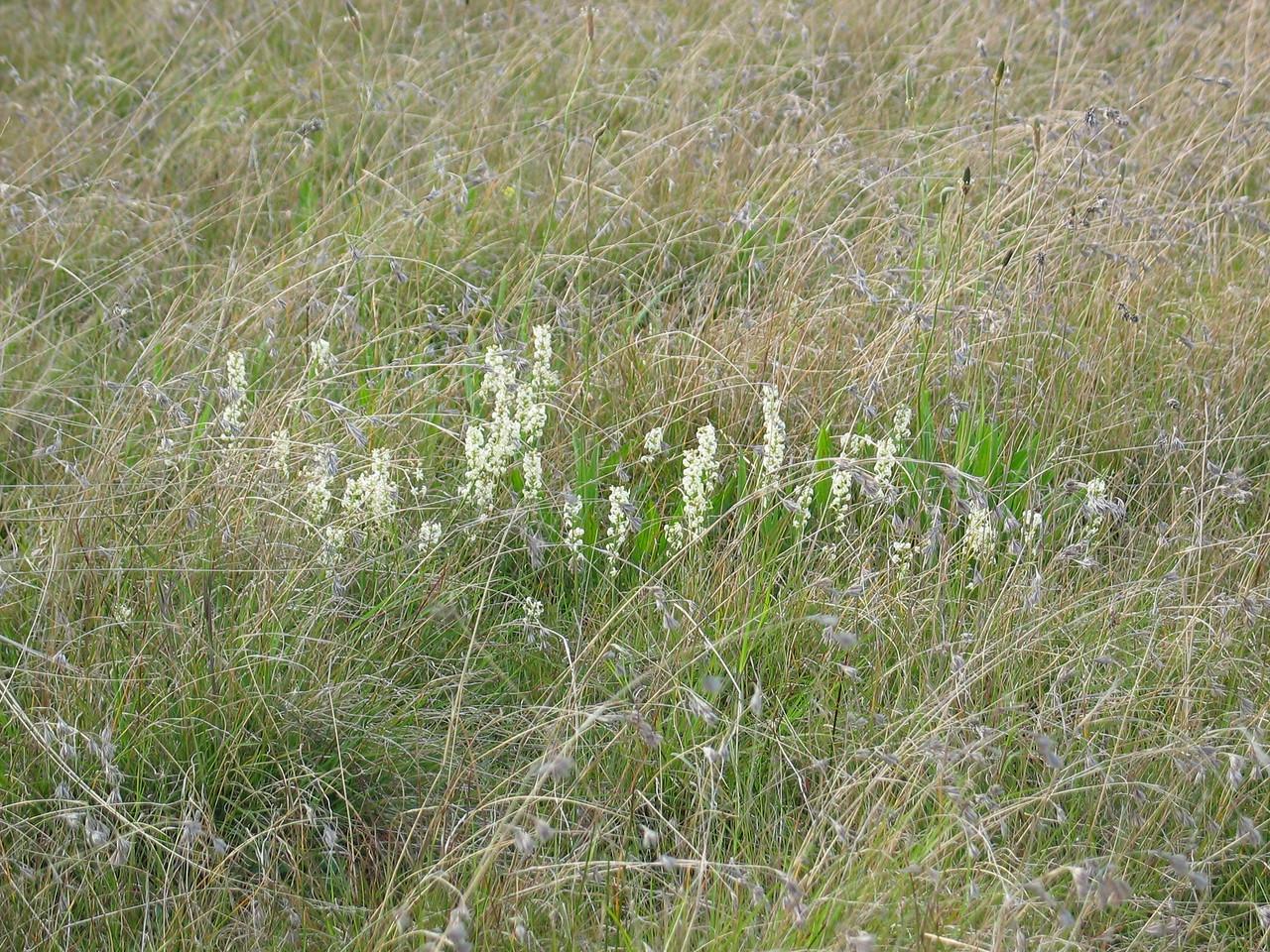 Stackhousia monogyna / Creamy Stackhousia amongst Themeda