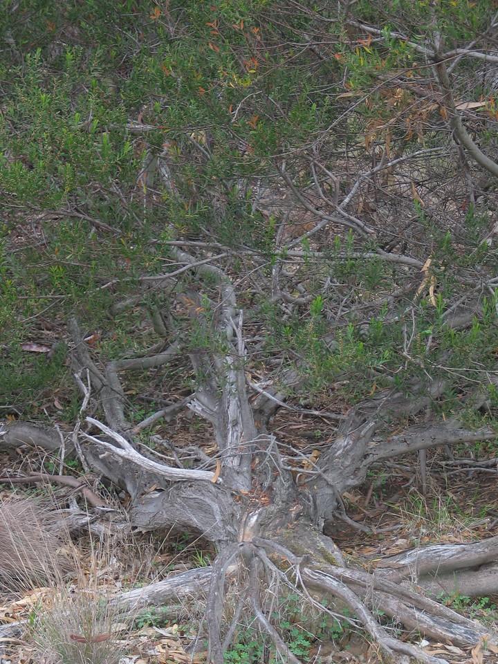 Acacia rostriformis (was included in A. verniciflua)/ Varnish Wattle - Werribee River - Werribee township