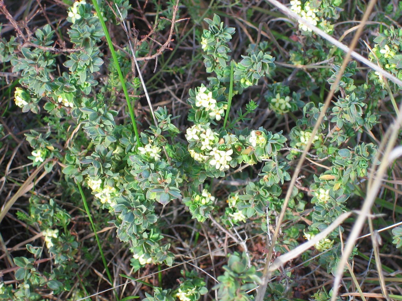 Pimelea spinescens
