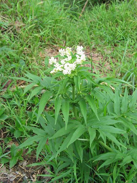 Sambucus gaudichaudiana / White Elderberry