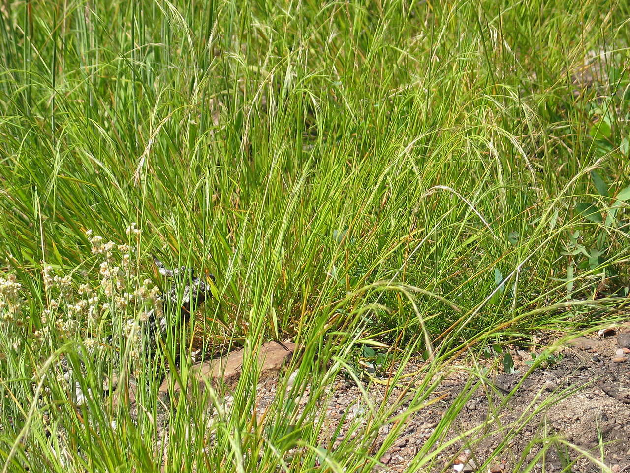Microleana stipoides / Weeping Grass