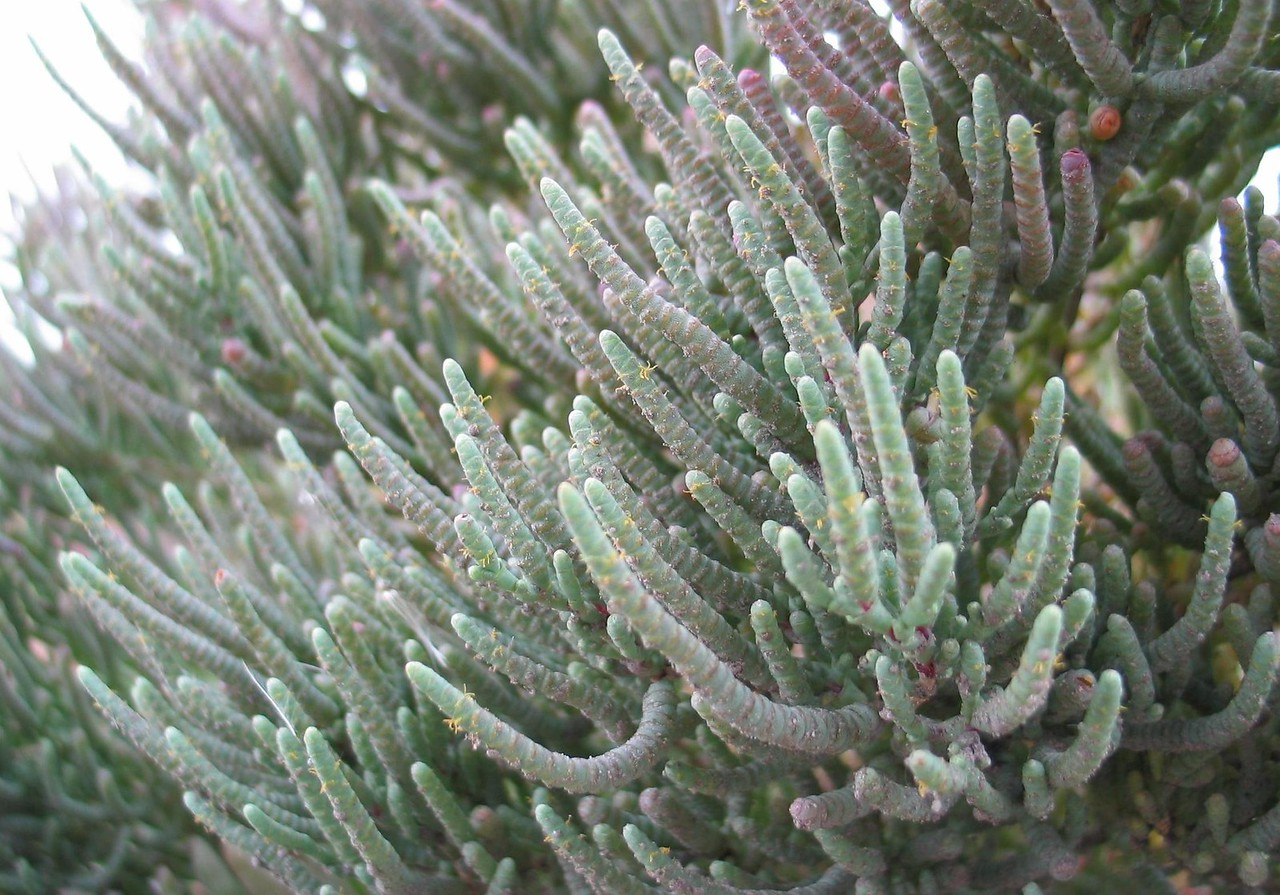 Halosarcia pergranulata / Shrubby Samphire or Glasswort