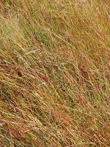 Bothriochloa macra / Red-leg Grass #  Tufted perennial grass (60cm), flowering Oct to Apr.