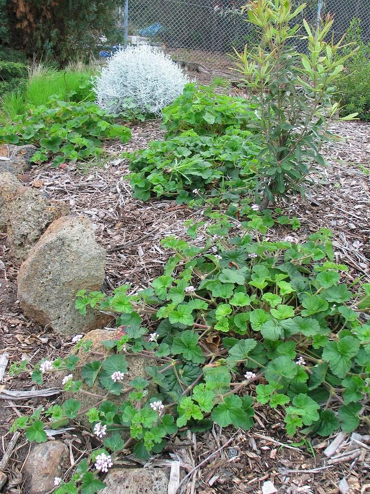 Pelargonium australe / Austral Stork's-bill