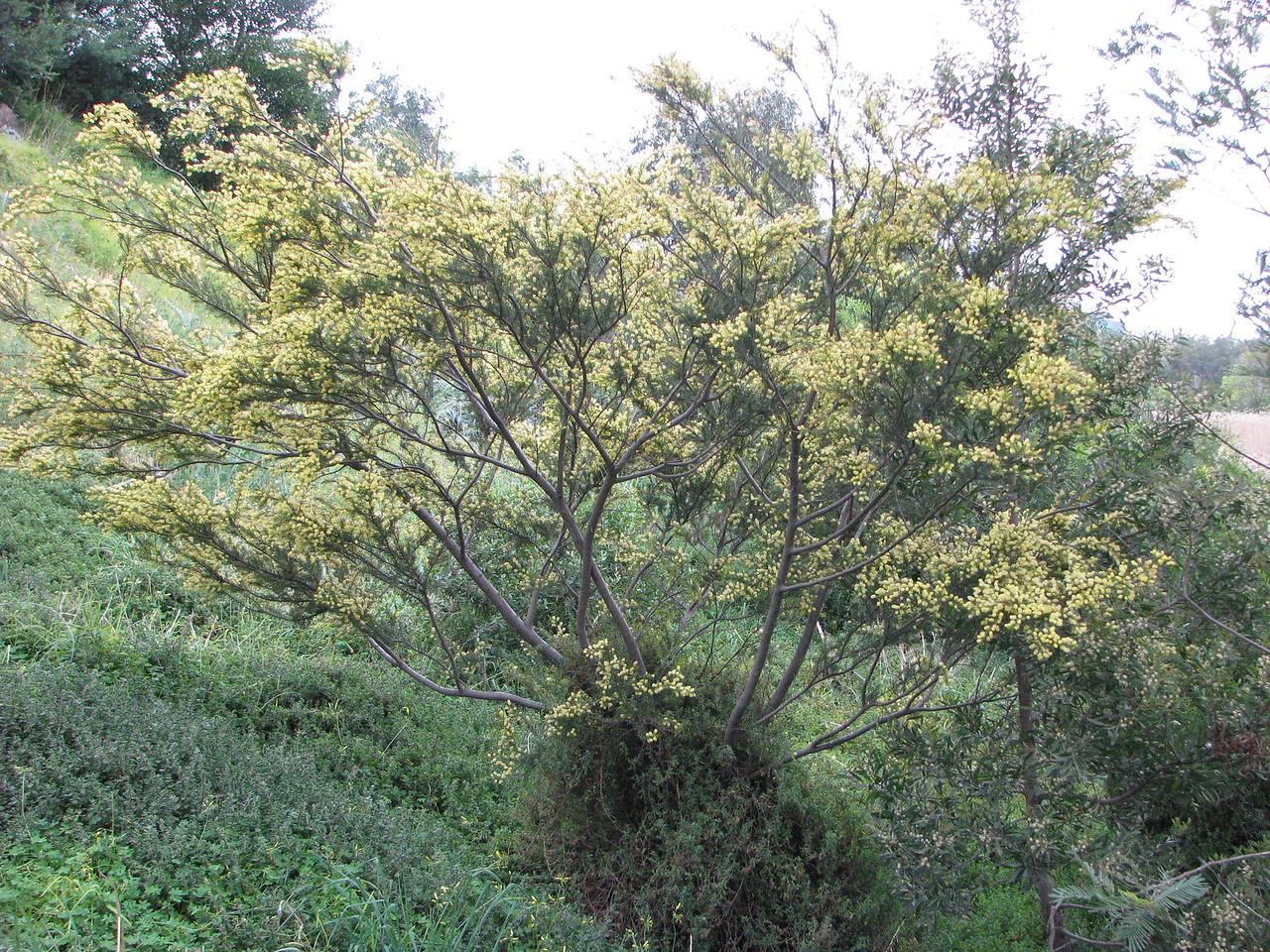 Acacia verticillata / Prickly Moses  Open, rounded shrub (2-6m), flowering June to Dec.