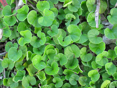 Dichondra repens / Kidney-weed