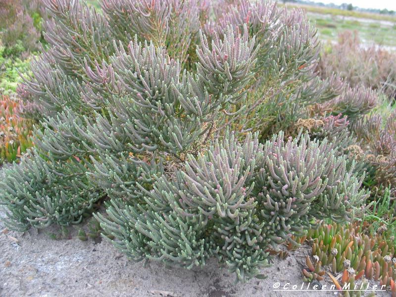 Halosarcia pergranulata / Shrubby Samphire or Glasswort