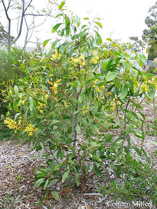 Acacia pycnanthaa / Golden Wattle #  Large shrub or small tree (3 to 10m), flowering Jul to Oct  Australia's Floral Emblem  Used by Aborigonals for food, containers, medicine and glue