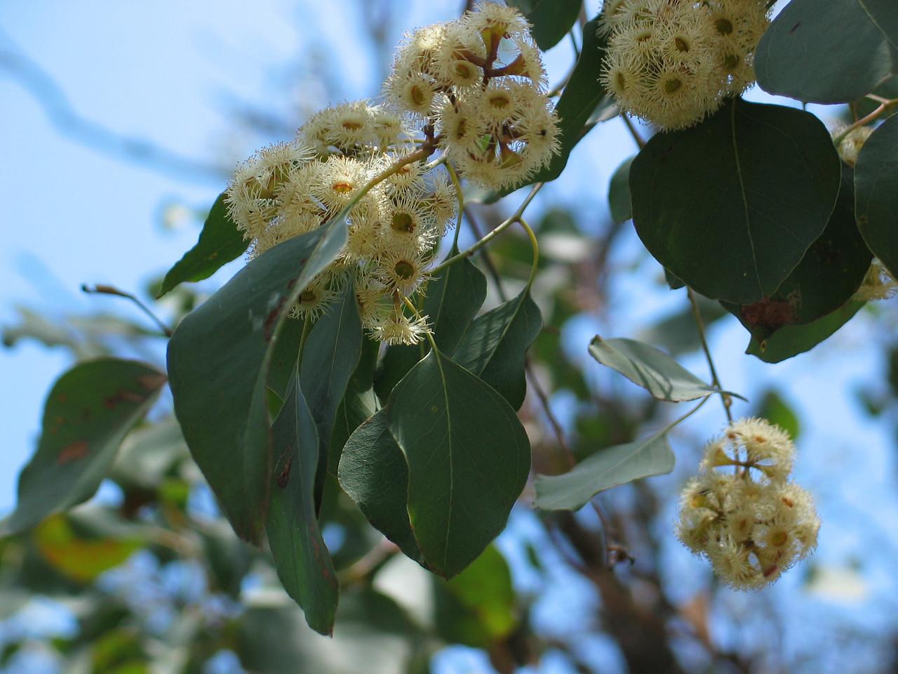 Eucalyptus baueriana / Blue Box