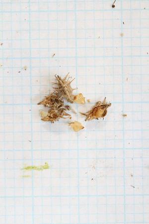 Acaena sp - seed