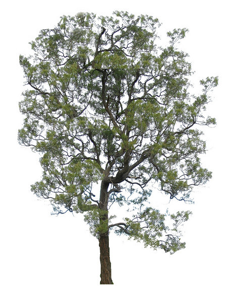 Acacia implexa / Lightwood #