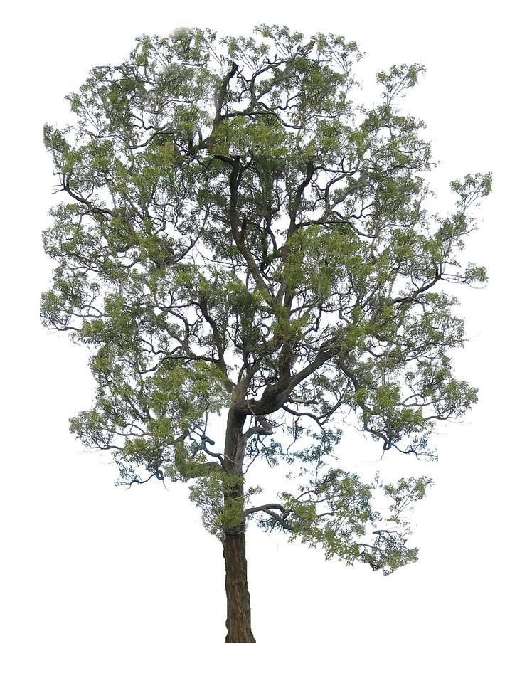 Acacia implexa / Lightwood #  Form - Small Tree
