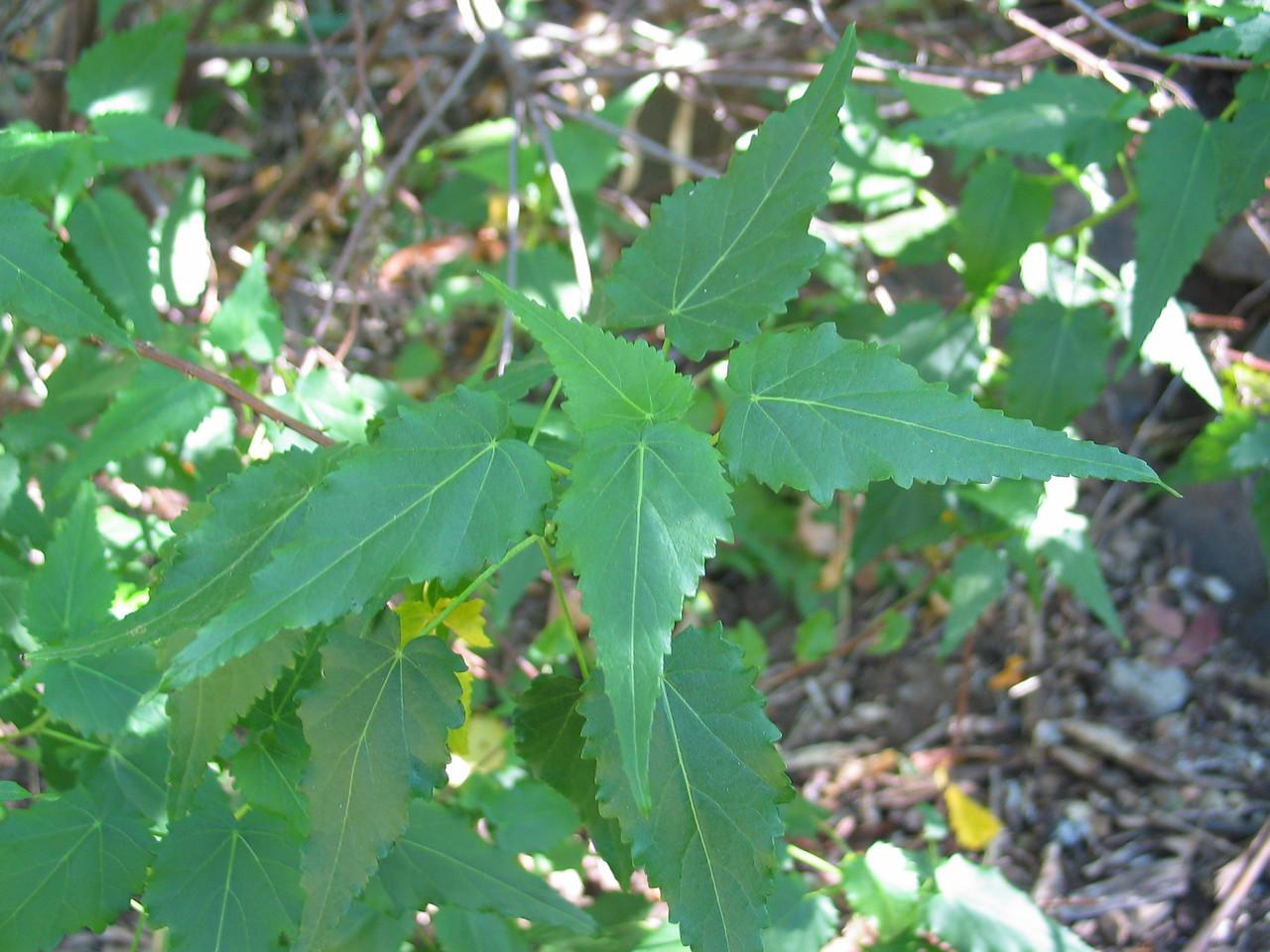Grevillea rosmarinifolia / Rosemary Grevillea