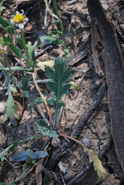 Calotis scabiosifolia - Leaf