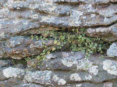 Asplenium flabellifolium / Necklace Fern  Small, prostrate fern (5 - 30cm) spreading  by creeping rhizomes
