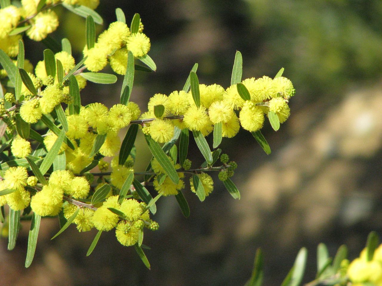 Acacia rostriformis (was included in A. verniciflua) - leaf and flower