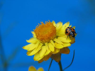 Bracteantha bracteata / Golden Everlasting / Paper Daisy  Erect perennial or annual herb (60cm)
