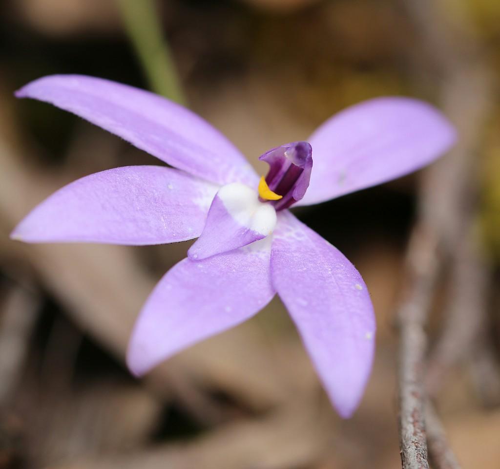 Glossodia major - Wax Lip Orchid