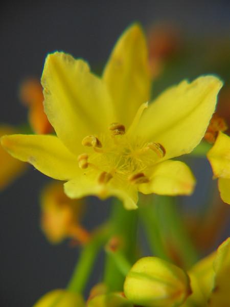 Bulbine bulbosa / Bulbine Lily / Wild Onion
