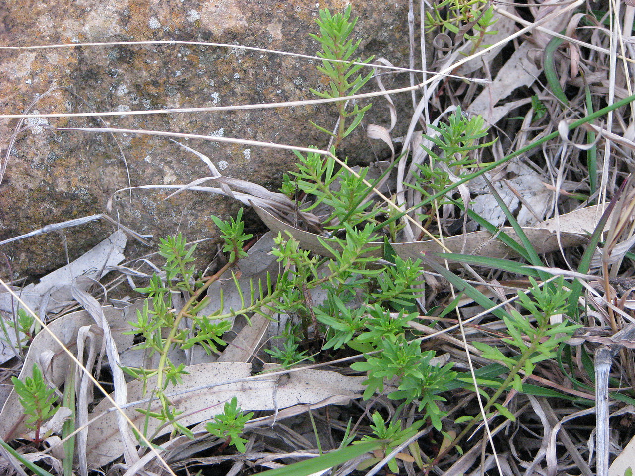 Haloragis heterophylla / Variable Raspwort