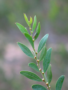 Acacia rostriformis (was included in A. verniciflua) - leaf