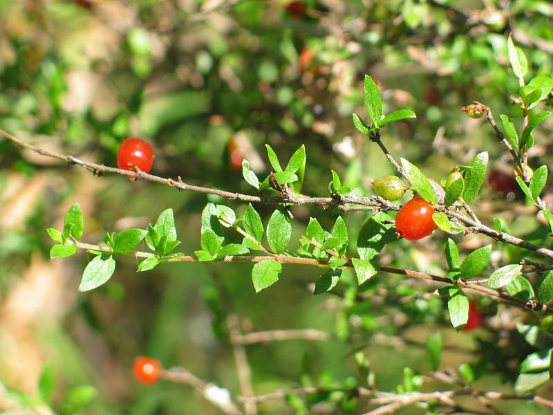 Coprosma quadrifida / Prickly Currant Bush