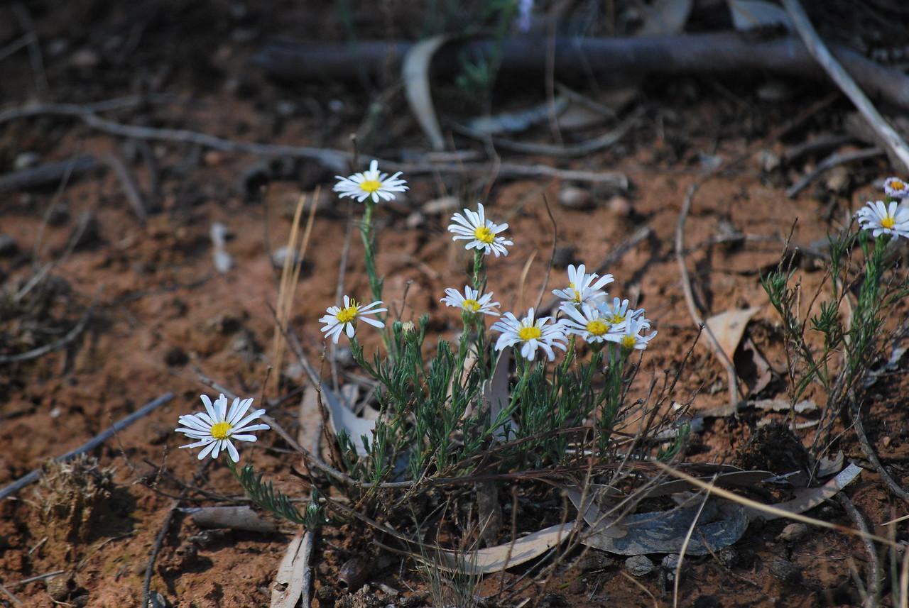 Minuria leptophylla