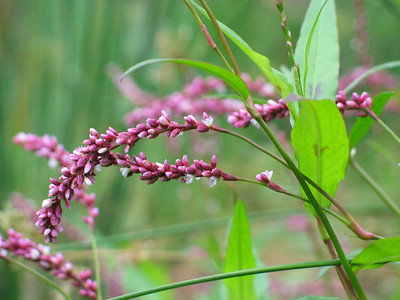 Persicaria decipens / Slender Knotweed