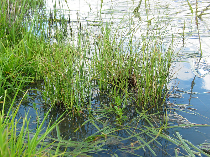 Carex bichenoviana / Sedge