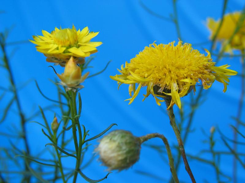 Podolepis jaceoides / Showy or Basalt Podolepis
