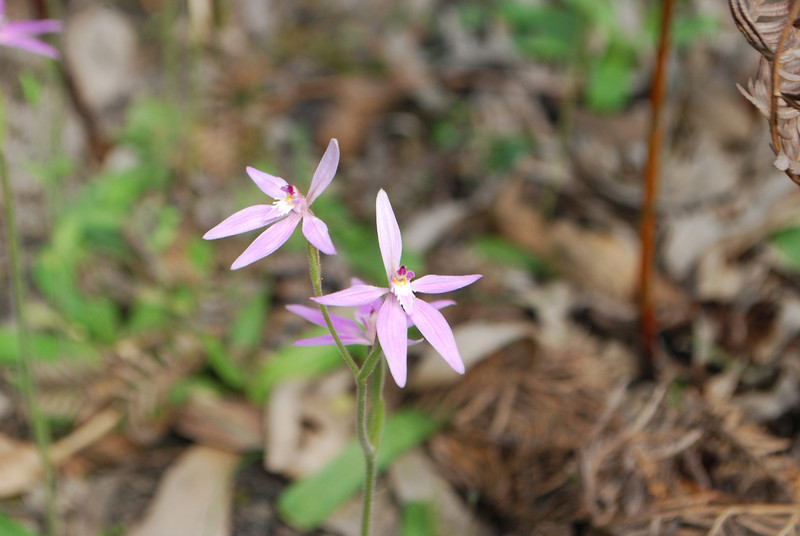 Caladenia latiflolia - Pink Fairies - Inverlfeigh