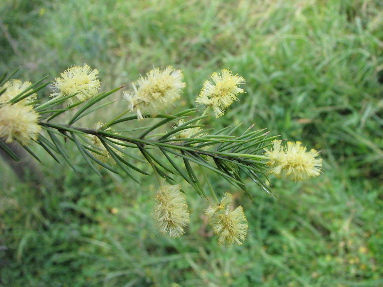 Acacia verticillata / Prickly Moses