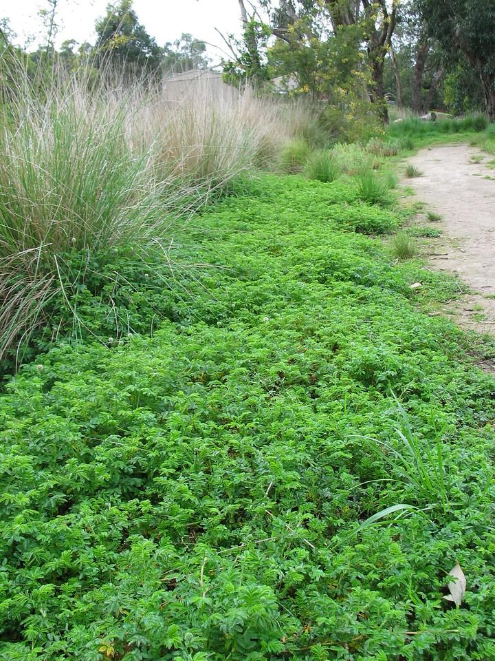 Acaena novae-zelandiae / Bidgee-widgee #  Stoloniferous, prostrate herb (1-4m), flowering Oct to Jan