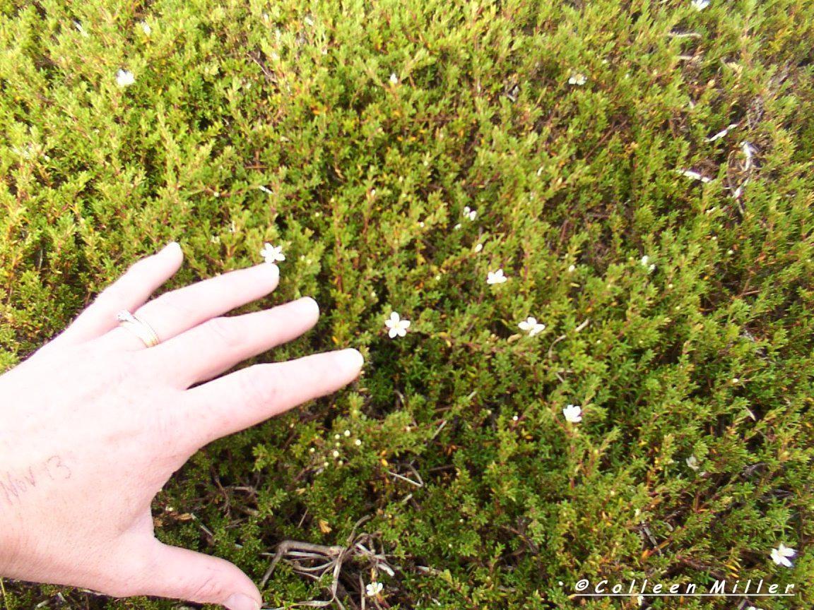 Frankenia pauciflora var. gunnii / Southern Sea-heath