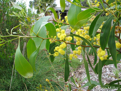 Acacia pycnantha / Golden Wattle #  Large shrub or small tree (3 to 10m), flowering Jul to Oct  Australia's Floral Emblem  Used by Aborigonals for food, containers, medicine and glue