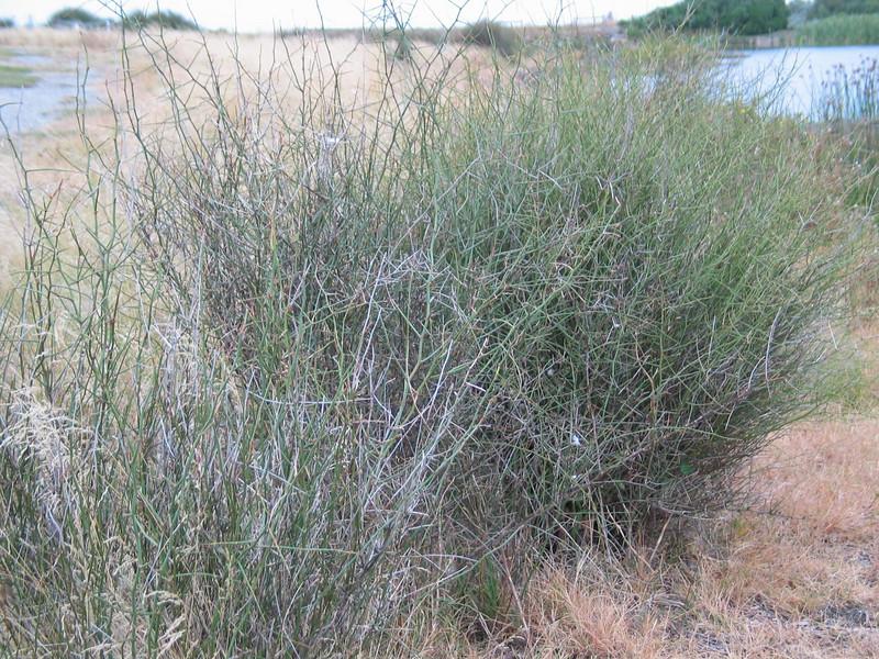 Muehlenbeckia florulenta / Tangled Lignum #