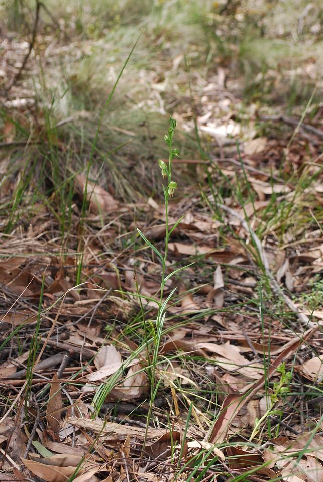 Pterostylis - Greenhood - Grampians