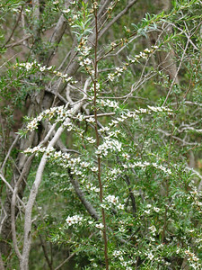 Leptospermum / Tea-tree  Taken on the Werribee River, it is more open and weeping than lanigerum so I am not sure of the species