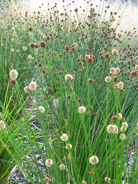 Isolepis nodosa - Now Ficinia nodosa - More pictures in F