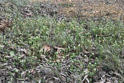 Pterostylus nutans - Nodding Greenhood