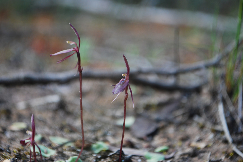 Cyrtostylis reniformis - Gnat Orchid
